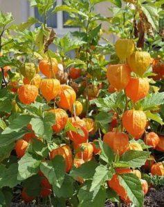 harga buah ciplukan goldenberry