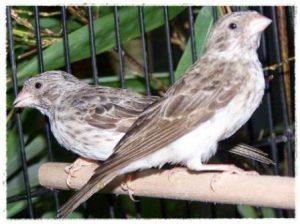Harga Burung Sanger Sepasang
