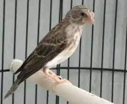 burung sanger adalah