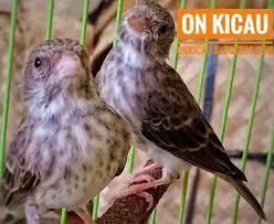 burung sanger betina gacor