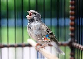 burung sanger betina