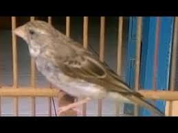 burung sanger gacor mp3