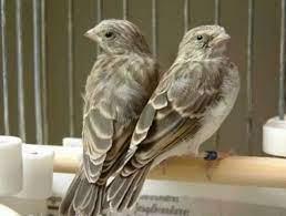 burung sanger jantan dan betina