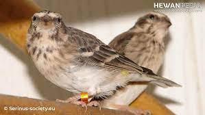 burung sanger jantan