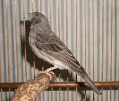 burung sanger macet bunyi
