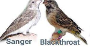 burung sanger vs blackthroat (2)