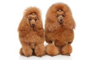 harga anjing poodle coklat terbaru