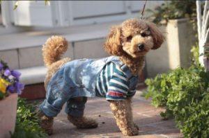 harga anjing poodle pakai baju terbaru