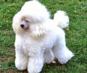 harga anjing poodle terbaru