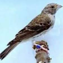 harga burung blackthroat
