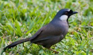 harga burung poksay hong kong terbaru