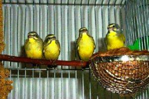 harga burung sanger per biji