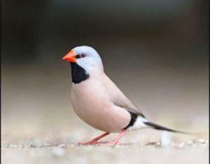 harga burung sanger terbaru