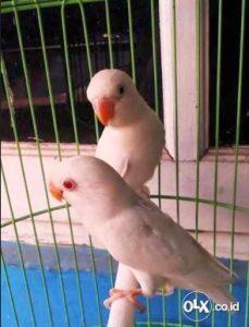harga burung lovebird albino sepasang