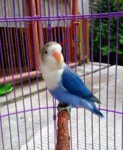 harga burung lovebird biru mangsi terbaru