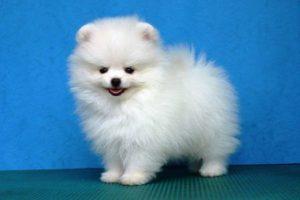 Harga Anjing Mini Pom