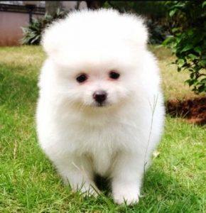 Harga Anjing Super Mini Pom