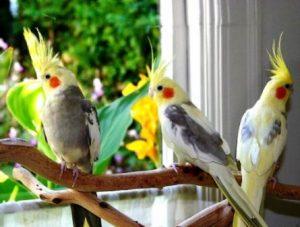 Harga Burung Cockatiel