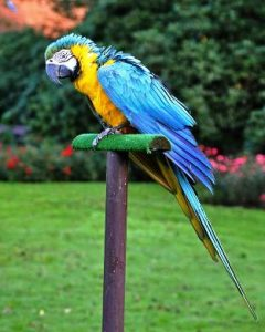Harga Burung Macaw Blue And Gold