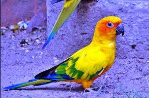 Harga Burung Sun Conure