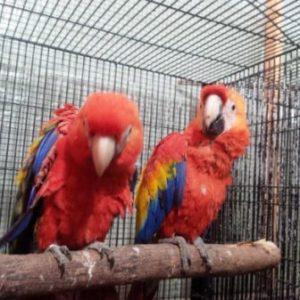 Harga Burung Sun Conure Merah