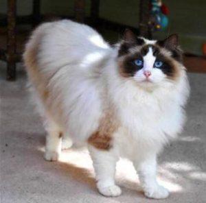 Gambar Kucing Ragdoll godean.web.id