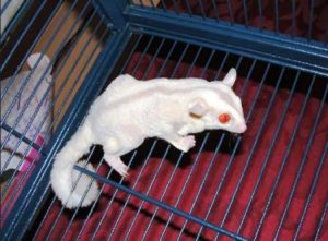 Harga Sugar Glider Albino