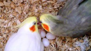Sarang Burung Cockatiel