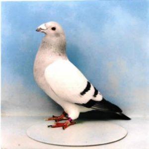Harga Merpati American Show Racer Pigeon