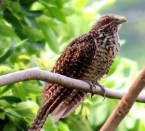 Download Suara burung tuwu Mp3
