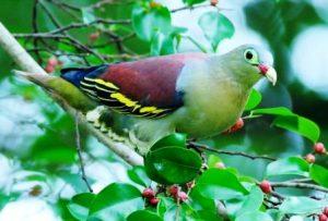 Harga Burung Punai