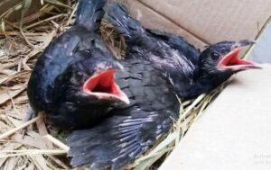 Mitos burung tuwu