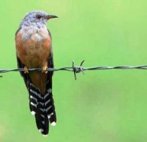 harga burung kedasih gacor