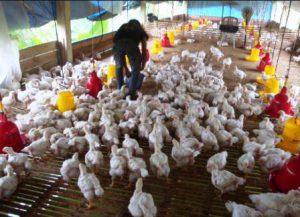 Harga Ayam Broiler Terbaru