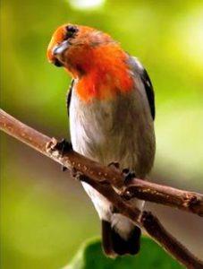 Harga Burung kemade Jawa