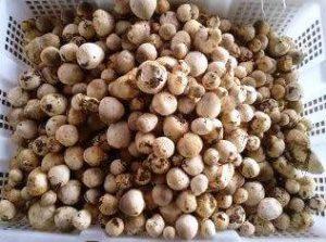 harga jamur merang putih