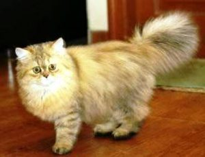 harga kucing chinchilla