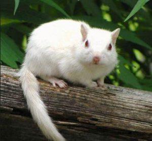 harga musang pandan albino