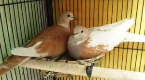 Burung Puter Irak atau Arab