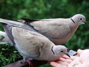 Harga Burung Puter