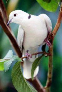 Harga Burung Puter Putih