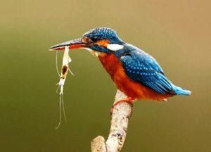 Harga Burung Udang