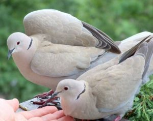 harga burung puter lokal