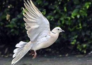 harga burung puter pelung