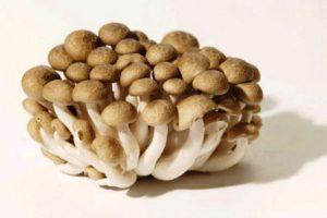 jual jamur shimenji