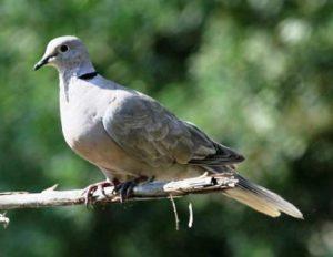 Harga Burung Tekukur
