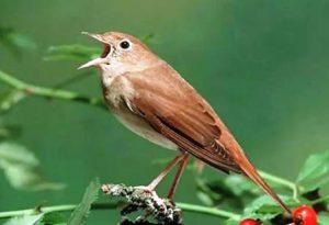 Harga Burung Sikatan Rimba
