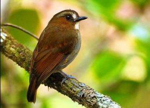 Harga Burung Sikatan Rimba Ekor Merah