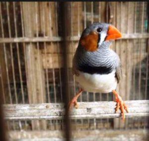 Harga Burung Emprit Jepang