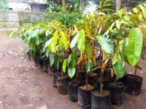 Harga Bibit Durian Montong